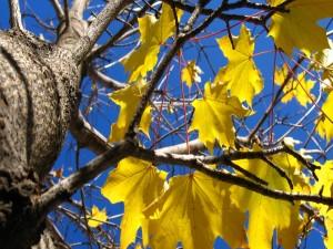 Hojas amarillas de otoño en las ramas de un árbol