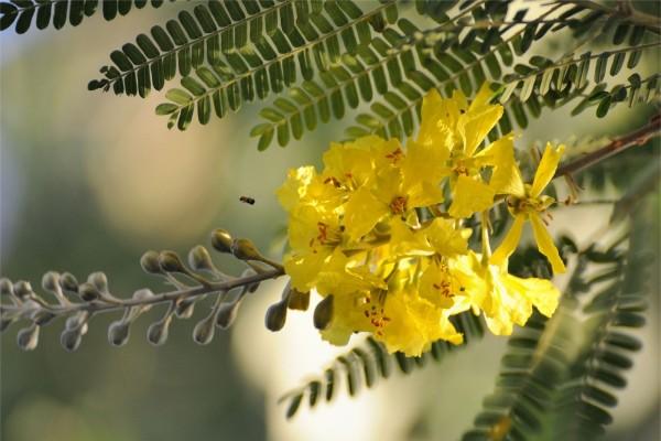 Flores amarillas de acacia en el árbol