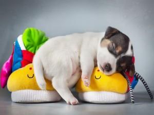 Postal: Cachorro durmiendo sobre unas zapatillas