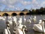 Cisnes en un río