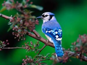 Postal: Arrendajo azul sobre una rama