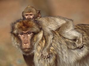 Postal: Pequeño macaco sobre su madre