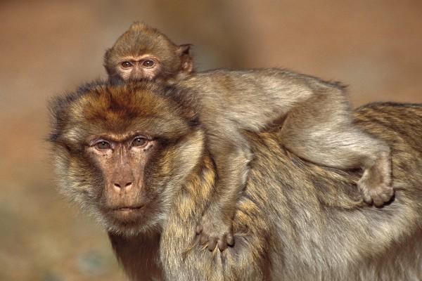 Pequeño macaco sobre su madre