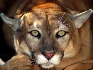 Postal: La mirada de un puma