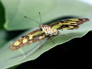Postal: Mariposa malaquita sobre una hoja