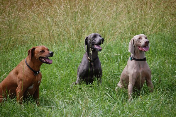 Perros en la hierba