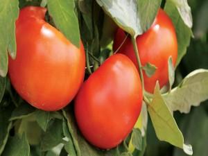 Hermosos tomates madurando en la mata