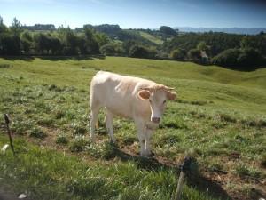 Postal: Una vaca en el prado