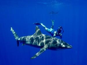 Postal: Fotografiando de cerca a un tiburón