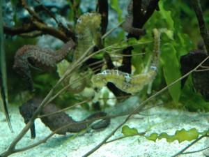 Dos especies de caballito de mar en un acuario