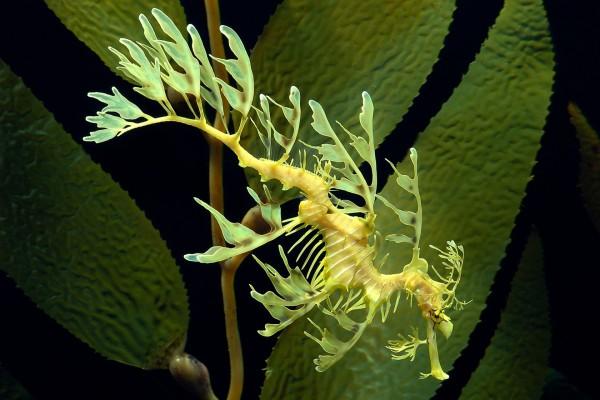 Un dragón de mar foliáceo en movimiento