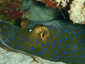 Postal: Raya de arrecife (Taeniura lymma)