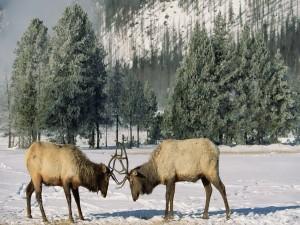 Ciervos peleando sobre la nieve