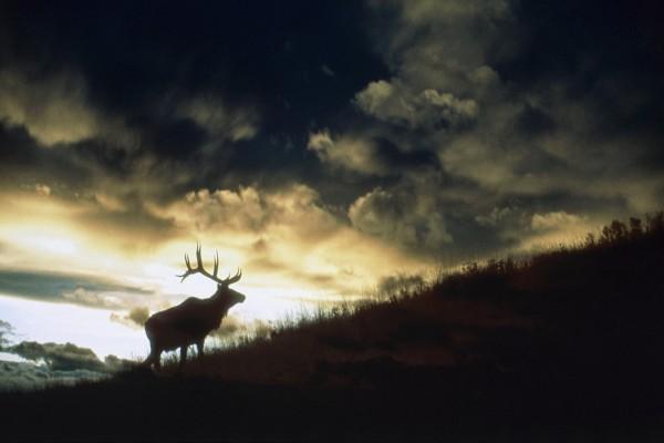 Ciervo subiendo por una ladera