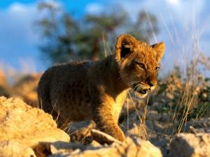El sol iluminando a un cachorro de león