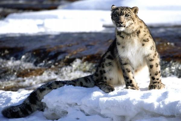 Leopardo de las nieves con nieve en el hocico