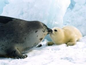 Foca besando a su cría