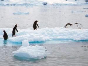 Pingüinos juanito (Pygoscelis papua)