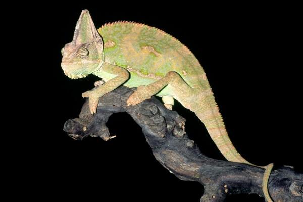 Un camaleón visto en la noche