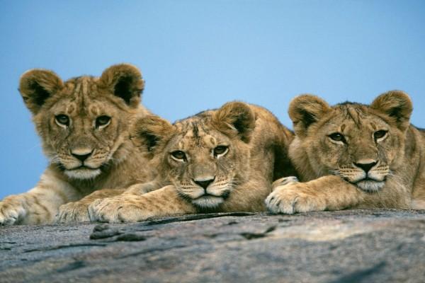 Tres jóvenes leones sobre una roca