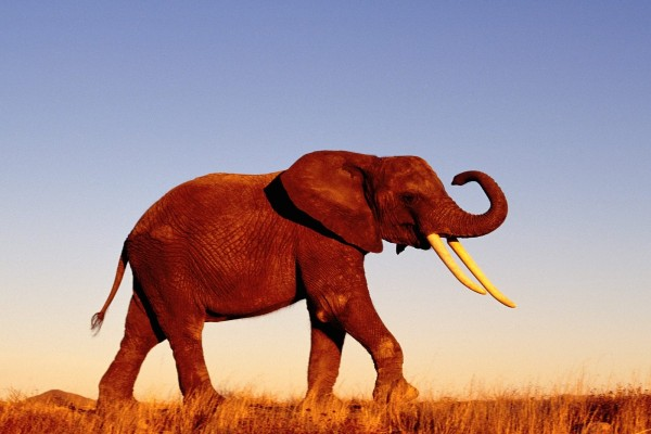 Un elefante caminando en soledad