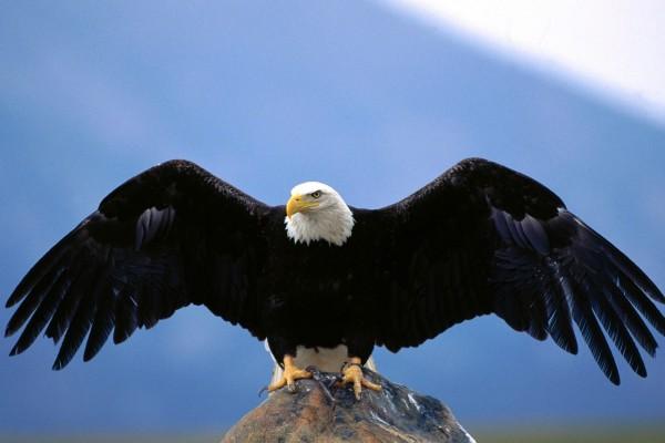 Águila sobre una roca desplegando sus alas