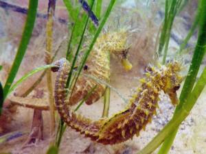 Caballitos de mar entre las plantas