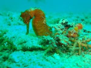 Caballito quieto en el fondo marino
