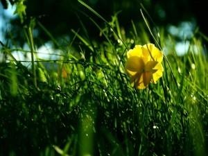 Postal: Flor amarilla en la hierba