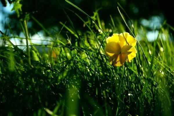Flor amarilla en la hierba