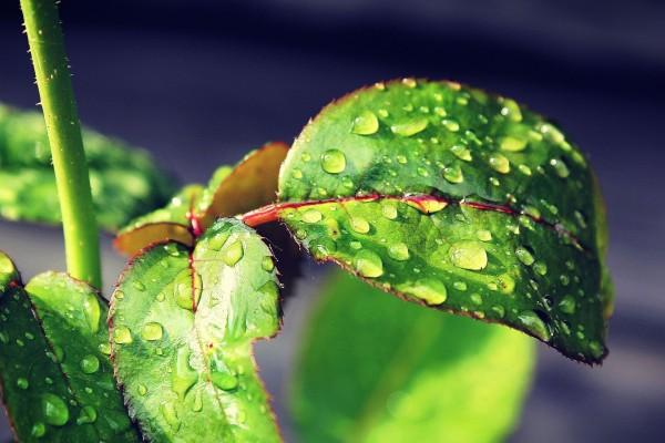 Gotas de agua en las hojas verdes
