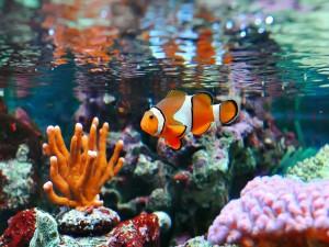 Postal: Pez payaso nadando en la superficie de un acuario