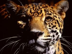La mirada de un jaguar