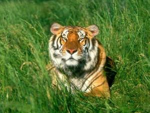 Un gran tigre de Bengala entre la hierba