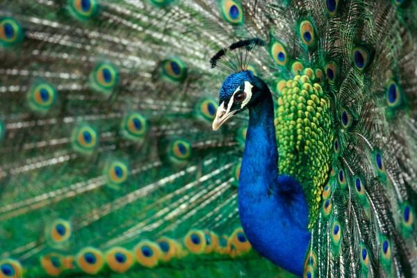 Bellos colores de un pavo real