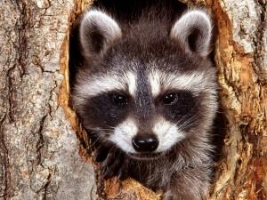 Un mapache en el hueco de un árbol
