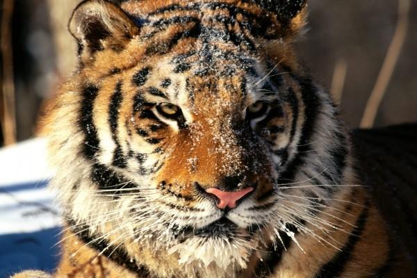 Un tigre Siberiano con los bigotes helados