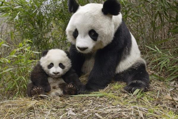 Oso panda con su pequeño en una reserva natural (China)
