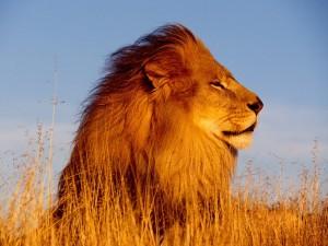Un poderoso león