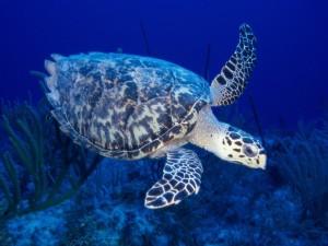 Tortuga carey nadando en el mar