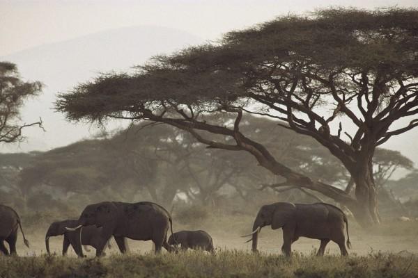 Un grupo de elefantes africanos caminando