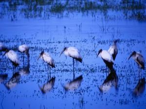 Postal: Cigüeñas en el agua