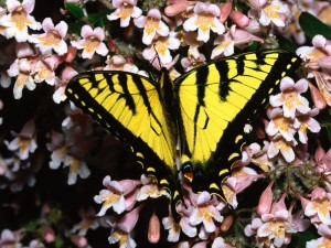 Una mariposa amarilla y negra sobre pequeñas flores