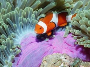 Postal: Un bonito pez payaso entre anémonas