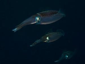 Calamares en el fondo del mar