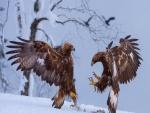 Batalla entre dos águilas