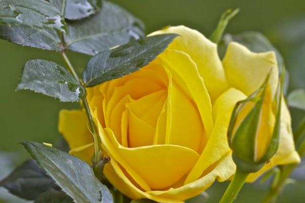 Una rosa amarilla y las hojas verdes del rosal