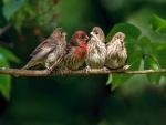 Cuatro gorriones en una rama