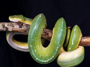 Pitón verde enroscada en una rama