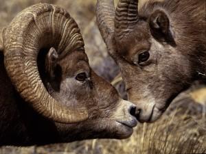 Cabras de grandes cuernos
